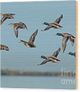 Mallard Flock Flying Wood Print