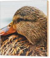 Mallard Hen Close Up Wood Print