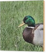 Mallard In The Grass Wood Print
