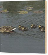 Mallard Mother With Ducklings Wood Print