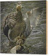 Mama Duck Protecting Her Babies Wood Print