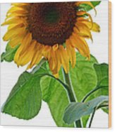 Mammoth Sunflower Wood Print