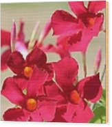 Mandevilla Named Sun Parasol Crimson Wood Print