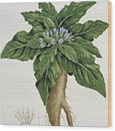 Mandragora Officinarum Wood Print by LFJ Hoquart