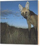 Maned Wolf Hunting At Dusk Brazil Wood Print