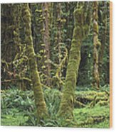 Maple Glade Quinault Rain Forest Wood Print