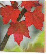 Maple Leaves Show Off Their Autumn Hues Wood Print
