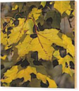 Maple Leaves With Tar Spot Wood Print