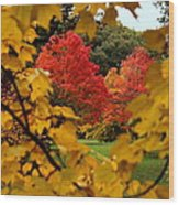 Maples In View Wood Print