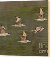 Marbled Godwit Flock Flying Wood Print