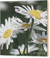 Marguerite Blossom Wood Print