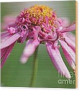 Marguerite Daisy Named Summer Song Rose Wood Print
