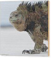 Marine Iguana Male Turtle Bay Santa Wood Print