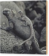 Marine Iguanas Galapagos Islands Wood Print