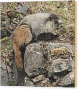 Marmot 1 Wood Print