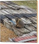 Marmot Resting On A Railroad Tie Wood Print