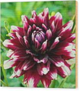 Maroon And White Dahlia Flower In The Garden Wood Print