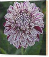 Maroon Speckled Dahlia Wood Print