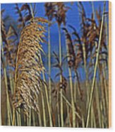 Marsh Grass At Northside Park Wood Print