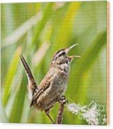 Marsh Wren Singing For Spring Wood Print