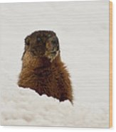 Marty The Marmot Wood Print