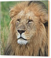 Masai Mara Lion Portrait    Wood Print by Aidan Moran