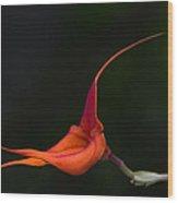 Masdevallia Orchid II Wood Print