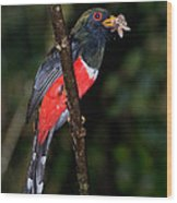 Masked Trogon With Moth Wood Print
