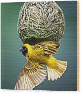 Masked Weaver At Nest Wood Print by Johan Swanepoel