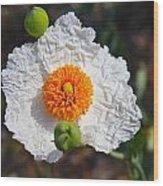 Matilija Poppy Buds And Bloom Wood Print