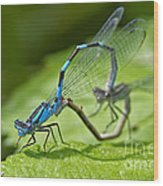 Mating Damselflies Wood Print