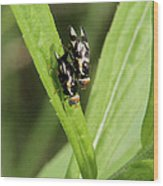 Mating Fruit Flies Wood Print