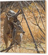 Mating Mulies Wood Print
