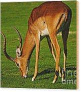 Mature Male Impala On A Lawn Wood Print