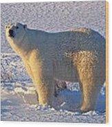 Mature Polar Bear Wood Print