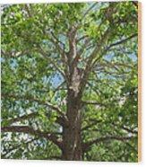 Mature Sycamore Wood Print