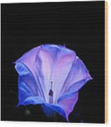 Mauve Blue Black Angels Trumpet Wood Print
