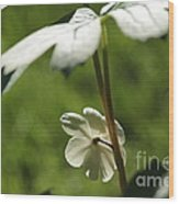 May Apple Flower Wood Print