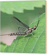 Mayfly Wood Print
