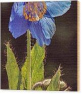 Meconopsis Himalayan Blue Poppy Wood Print