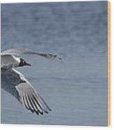 Mediterranean Gulls  Wood Print