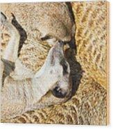 Meerkat Group Resting Wood Print