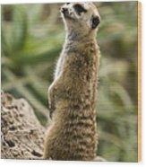 Meerkat Mongoose Portrait Wood Print
