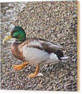 Meet Mr. Quack - A Mallard Duck Wood Print