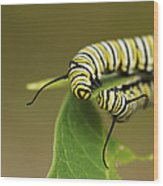 Meeting In The Middle - Monarch Caterpillars Wood Print