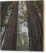 Meeting Of The Sequoias Wood Print