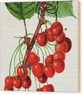 Mercer Cherry Illustration 1892 Wood Print