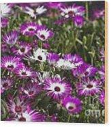 Mesembryanthemums 5 Wood Print