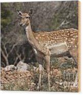 Mesopotamian Fallow Deer 2 Wood Print