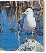 Mew Gull Wood Print by Chris Heitstuman